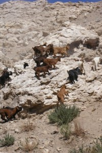 Goats playing on the steppes