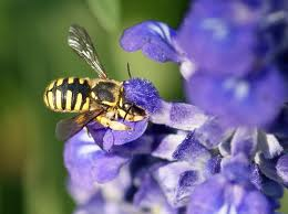 wool bee on purple flower